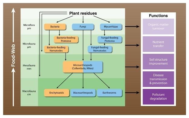 Soil Food Web flowchart