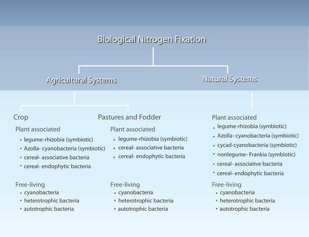 Biological Nitrogen Fixation By: Stephen C. Wagner
